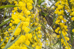 Acacia dealbata flower (silver wattle, blue wattle or mimosa) Stock Photography