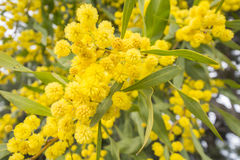 Acacia dealbata flower (silver wattle, blue wattle or mimosa) Royalty Free Stock Photography