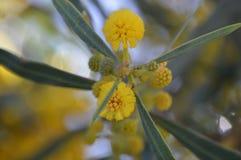 Acacia dealbata giallo Fotografia Stock Libera da Diritti