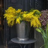 Acacia dealbata. Mimosa for sale at flower shop in London. The Acacia dealbata. Mimosa for sale at flower shop in London royalty free stock photo