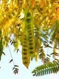 Acacia di autunno Fotografia Stock Libera da Diritti