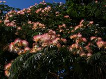 Acacia di Costantinopoli, albero di seta persiano, albizia julibrissin Fotografie Stock Libere da Diritti