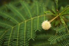 Acacia di Earleaf Fotografia Stock Libera da Diritti