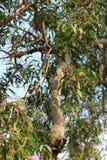Acacia di Earleaf Immagini Stock Libere da Diritti