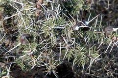 Acacia di fischio della spina Fotografie Stock Libere da Diritti
