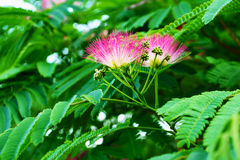 Acacia di Lankaran Fotografia Stock