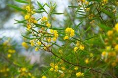 Acacia dodonaefolia flowers Stock Photo