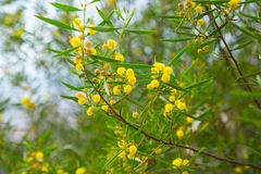 Acacia dodonaefolia yellow flowers Royalty Free Stock Images