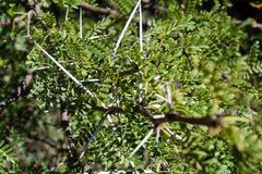 Acacia ehrenbergiana with sharp tall white thorns 1 Stock Image