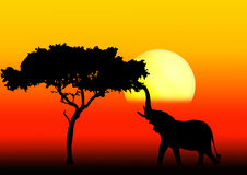Acacia and elephant in sunset. Elephant reaching for a bite in acacia tree during sunset Royalty Free Stock Images