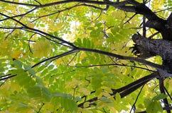 Acacia en el bosque de Altai Imagenes de archivo