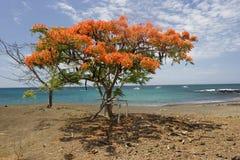 Acacia en la isla de Floriana fotos de archivo libres de regalías