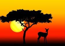 Acacia et impala dans le coucher du soleil Images libres de droits