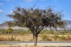 Acacia farnesiana or huizache next to the road stock images