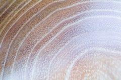 acacia faux - fond de texture en bois de pseudoacacia de robinia dans la macro pousse de lentille photos libres de droits