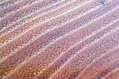 acacia faux - fond de texture en bois de pseudoacacia de robinia dans la macro pousse de lentille photo stock