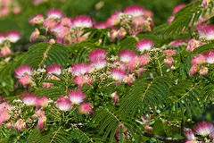Acacia flovers Stock Image