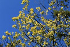 Acacia flower royalty free stock photo
