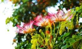 Acacia Flower. The beautiful acacia flower early in the moring at the park Stock Photo