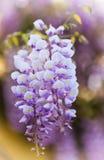 Acacia flower Stock Photo