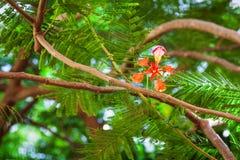 Acacia flower Stock Photography