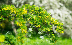 Acacia. Flowering acacia tree in the Botanical garden of Kaliningrad Royalty Free Stock Image