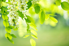 Acacia flowers. And leaves with shallow depth of field royalty free stock image