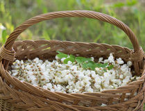 Acacia flowers in basket on the field Stock Photos