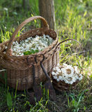 Acacia flowers in basket on the field Stock Photography