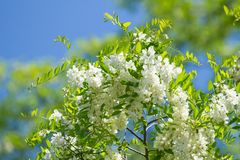 Acacia flowers blossoms Stock Photos