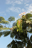 Acacia flowers. With blue sky background Royalty Free Stock Photography