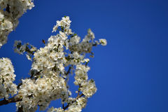 Acacia flowers and blue sky Stock Photo