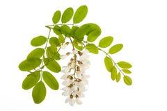 Acacia flowers Stock Image