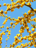 Acacia flowers Royalty Free Stock Photo