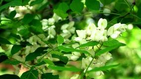 Acacia flowers illuminated by sunlight stock footage