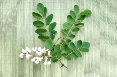 Acacia flowers with leafs Stock Images