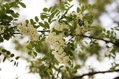 Acacia flowers Stock Images