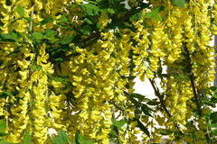 Acacia. Flowers in the spring garden Stock Images