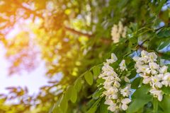 Acacia flowers. Sunlight shines through the branches stock image