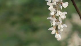 Acacia flowers on tree stock video footage
