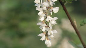 Acacia flowers on tree stock video