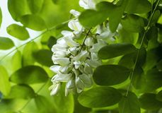 Acacia flowers Royalty Free Stock Photo
