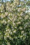 Acacia flowers Stock Photos