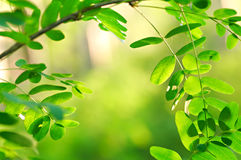 Acacia in forest Royalty Free Stock Photos