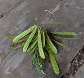 Acacia fruit Stock Photos