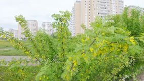 Acacia gele struik stock video
