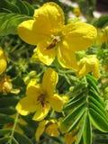Acacia gialla Fotografia Stock