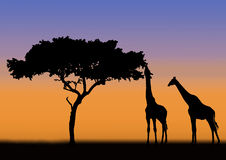 Acacia and giraffes silhouette. Acacia and two giraffes in silhouette during sunrise in africa Stock Photo