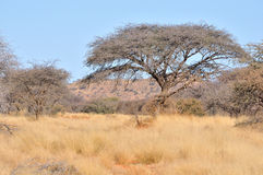 Acacia and grass landscape Royalty Free Stock Image