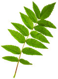 Acacia green leaf Stock Photography